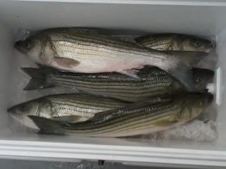 Worton Rockfish 2
